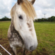 Stock Photo: Irish Draught Horse