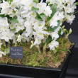 Stock Photo: Dendrobium Sweet dream Flowers