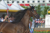 Arabian horse show in Salerno — Stock Photo