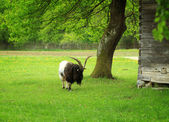 Feeding goat — Stock Photo