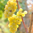Bunch of grapes — Stock Photo #11101557