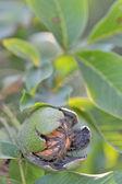спелые грецкие орехи на дерево — Стоковое фото