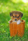 Pekinese puppy dog — Stock Photo