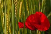 Red poppy and green corn — Stock Photo