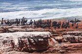 Cormorants at red rocky coastline — Stock Photo