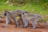 Two vervet monkeys — Stock Photo