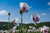 White poppy field — Stock Photo
