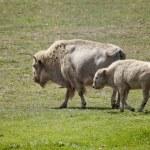 White American Bison - Buffalo — Stock Photo