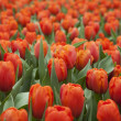Tulips Field — Stock Photo #11233801