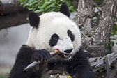 Panda Eating a Bamboo Shoot — Foto de Stock