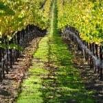 Autumn Vineyard in Napa Valley — Stock Photo #11034321