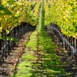 Vineyard in Autumn Fall — Stock Photo