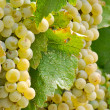 Chardonnay Grapes Close Up — Foto Stock
