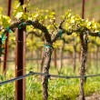 Royalty-Free Stock Photo: Vineyard in Spring