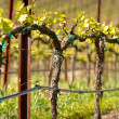 Vineyard in Spring — Stock Photo #11034448