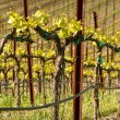 Grapes Vines in Vineyard during Spring — Stock Photo