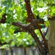 Grapevine in Spring — Stock Photo