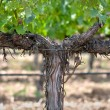 Grapevine in Spring — Stockfoto #11034483