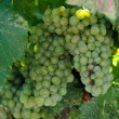 Green Grapes Close Up in Napa Valley Ready to be made into Wine — Stock Photo