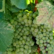 Green Grapes Close Up in Napa Valley Ready to be made into Wine — Stock Photo #11034566