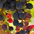 Stock Photo: Multi Color Grapes on Vine