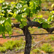 Стоковое фото: Grape Vine in Spring Napa