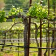 Napa Grape Vine in Spring — Stock Photo