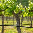 Grape Vineyard in Spring — Stock Photo