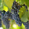 Red Grapes on the Vine in Napa Valley California — Stock Photo #11034861