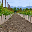 Stock Photo: Rows of Young Grape Vines