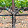 Stock Photo: Vineyard in Spring