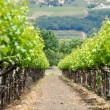 Vineyard in Spring — Stockfoto