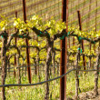 Spring Vineyard in Napa California — Stock Photo