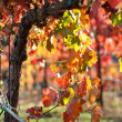 Close up of a Red Grape Wine Vine — Stockfoto