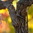 Close up of a Red Grape Wine Vine — Stock Photo