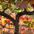 Stock Photo: Beautiful NapValley Vineyard Grape Leaves