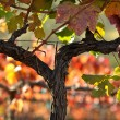 Stockfoto: Beautiful NapValley Vineyard Grape Leaves