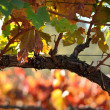 Beautiful Napa Valley Vineyard Grape Leaves — Stock Photo #11035524