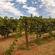 Stock Photo: Vineyard Blue Sky
