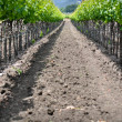 Napa Valley Grape Vineyard in Spring — Stockfoto