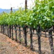 Vineyard in Spring — Stock Photo #11035664