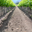 Vineyard in Spring — Foto de Stock