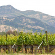 Stock Photo: Spring Vineyard in Napa Valley California