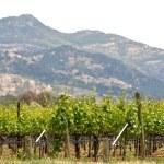 Spring Vineyard in Napa Valley California — Stock Photo