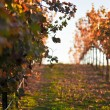 Vineyard Sunset — Stock Photo