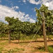Stock Photo: Vineyard with Blue Sky and Clouds