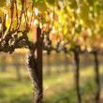 Beautiful Vineyard in Napa Valley — Stock Photo #11035862