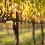 Beautiful Vineyard in Napa Valley — Stock Photo