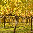 Beautiful Vineyard in Napa Valley — Stock Photo