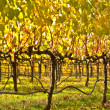 Beautiful Vineyard in Napa Valley — Stock Photo #11035876